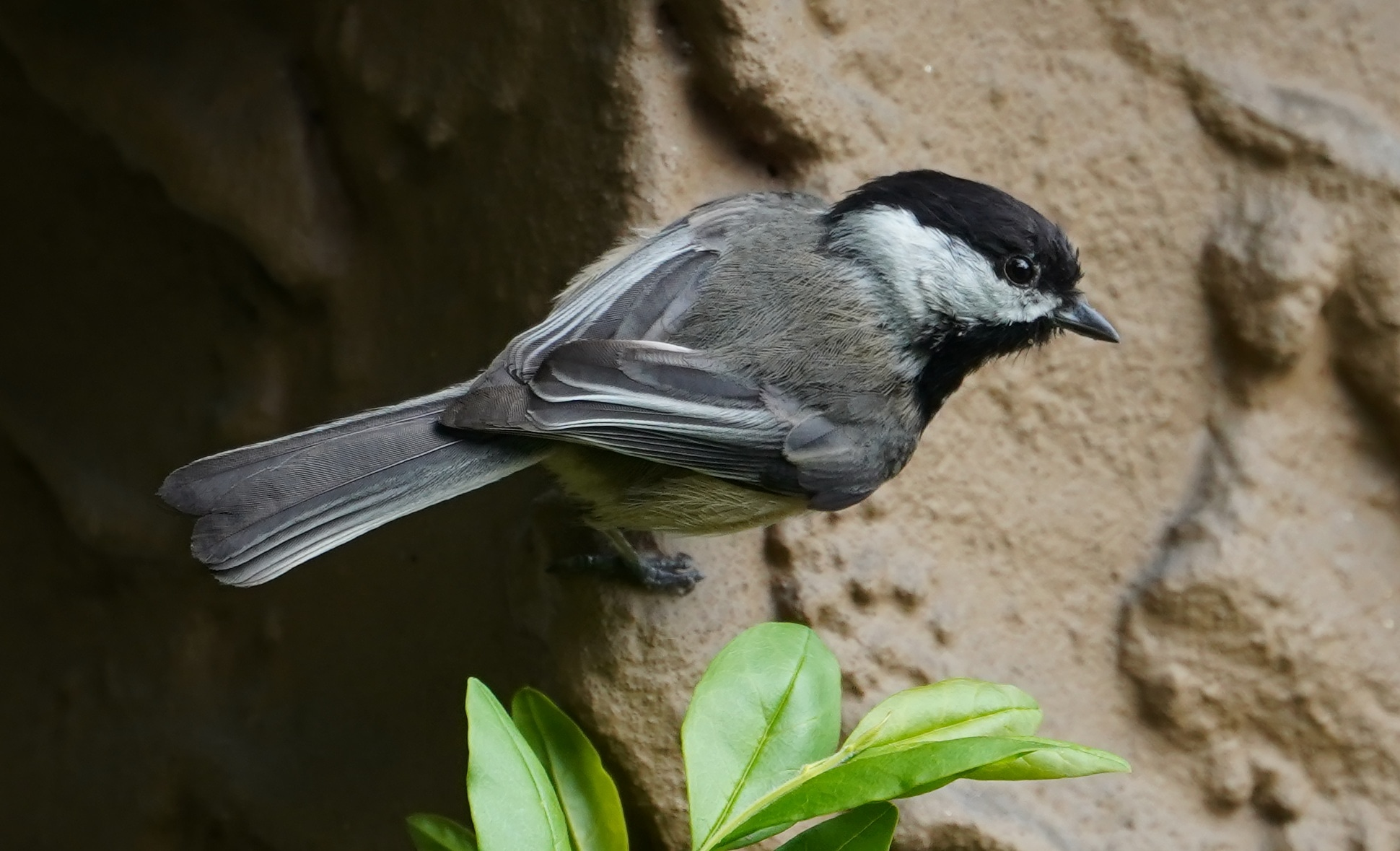 Chickadee on a wall