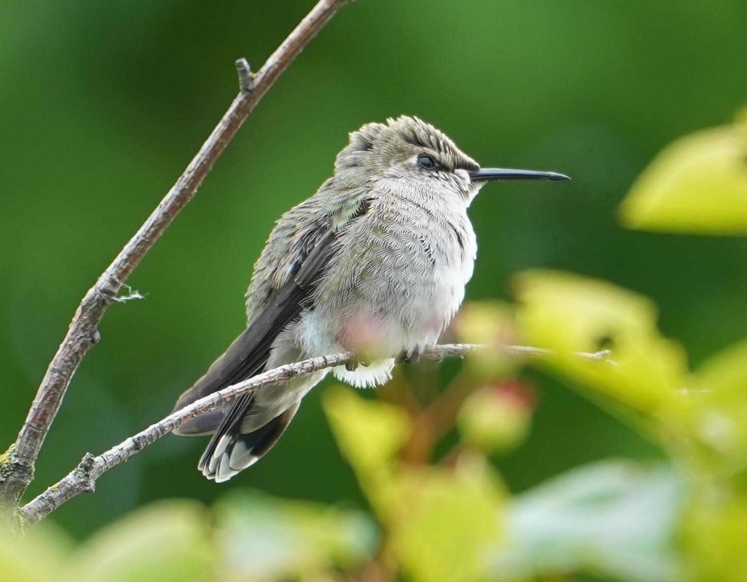 Juvenile Anna's hummingbird