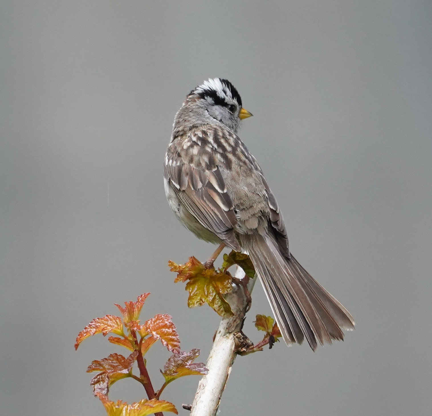 White-crowned sparrow posing