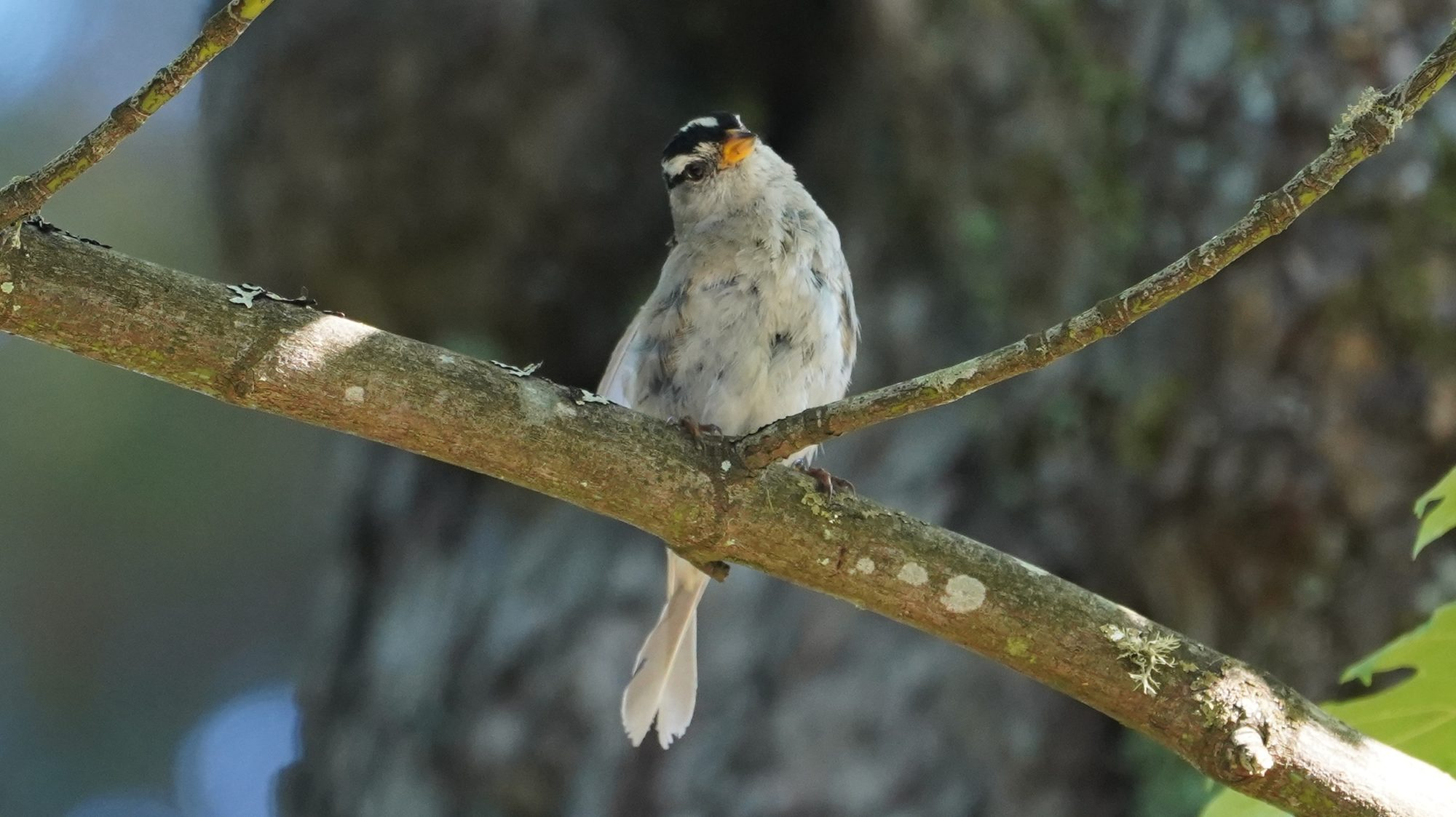 White-crowned sparrow tilting head