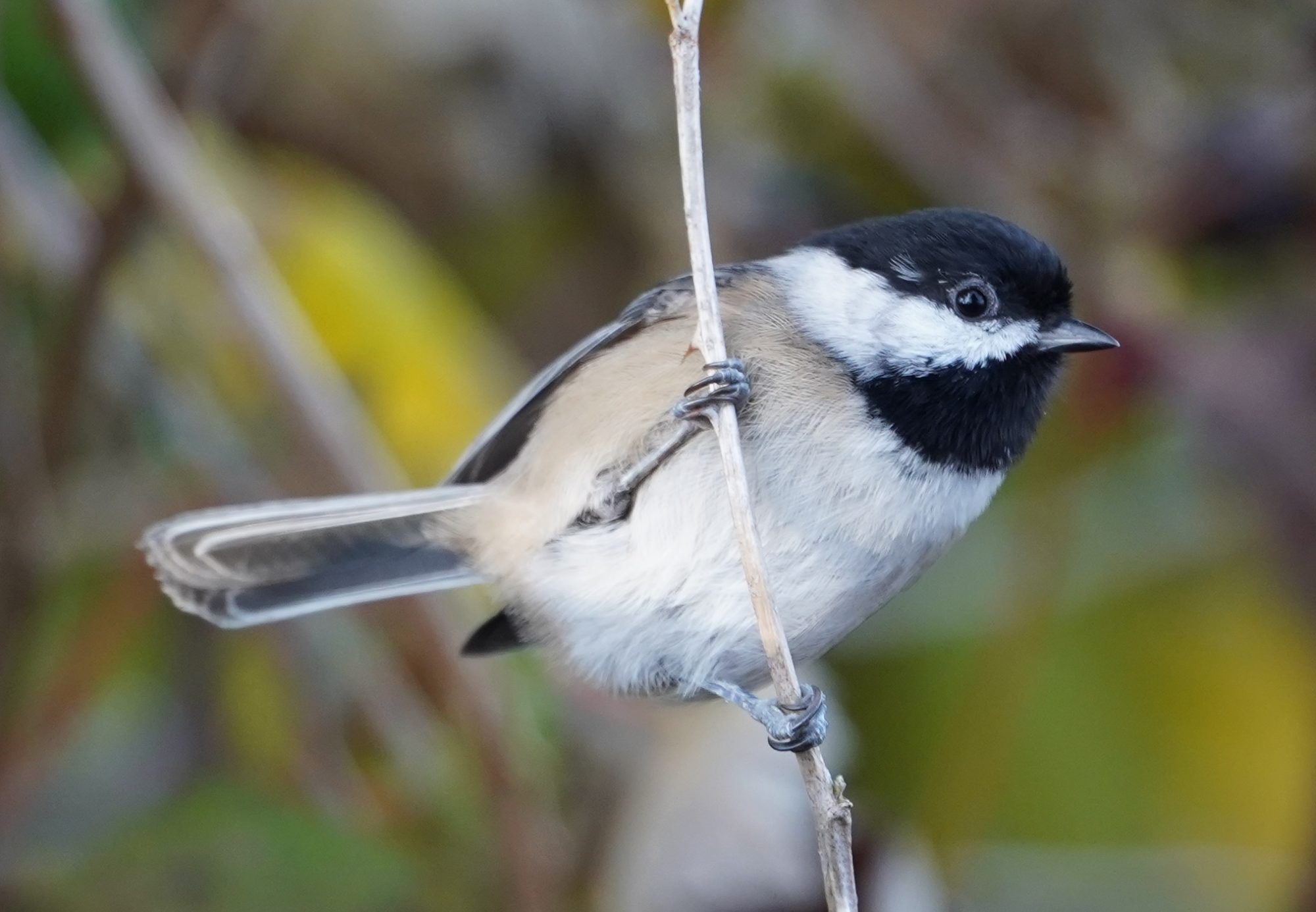 Chickadee on a twig